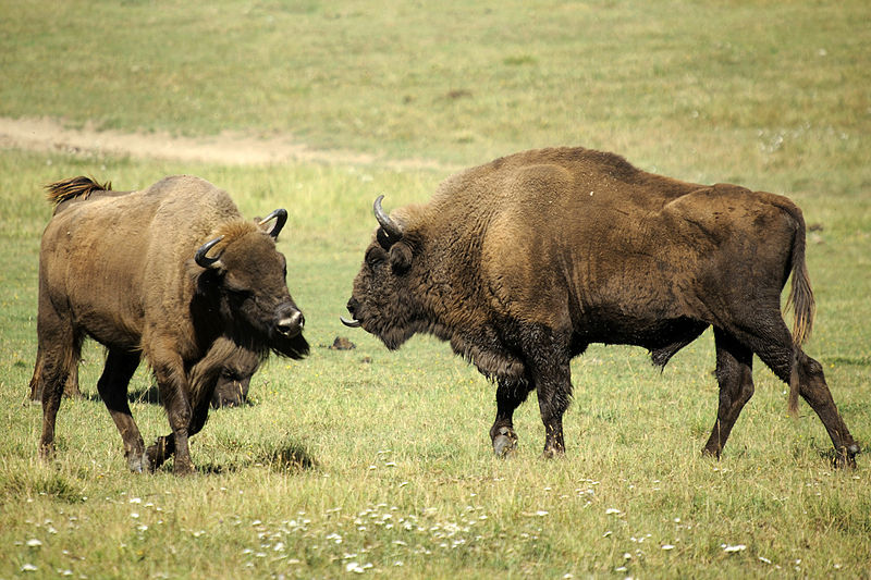 Bisonti nella Réserve Biologique des Monts d'Azur