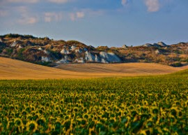 Sunflowers in Tuscan countryside courtesy of Alberto Cinotti via Flickr