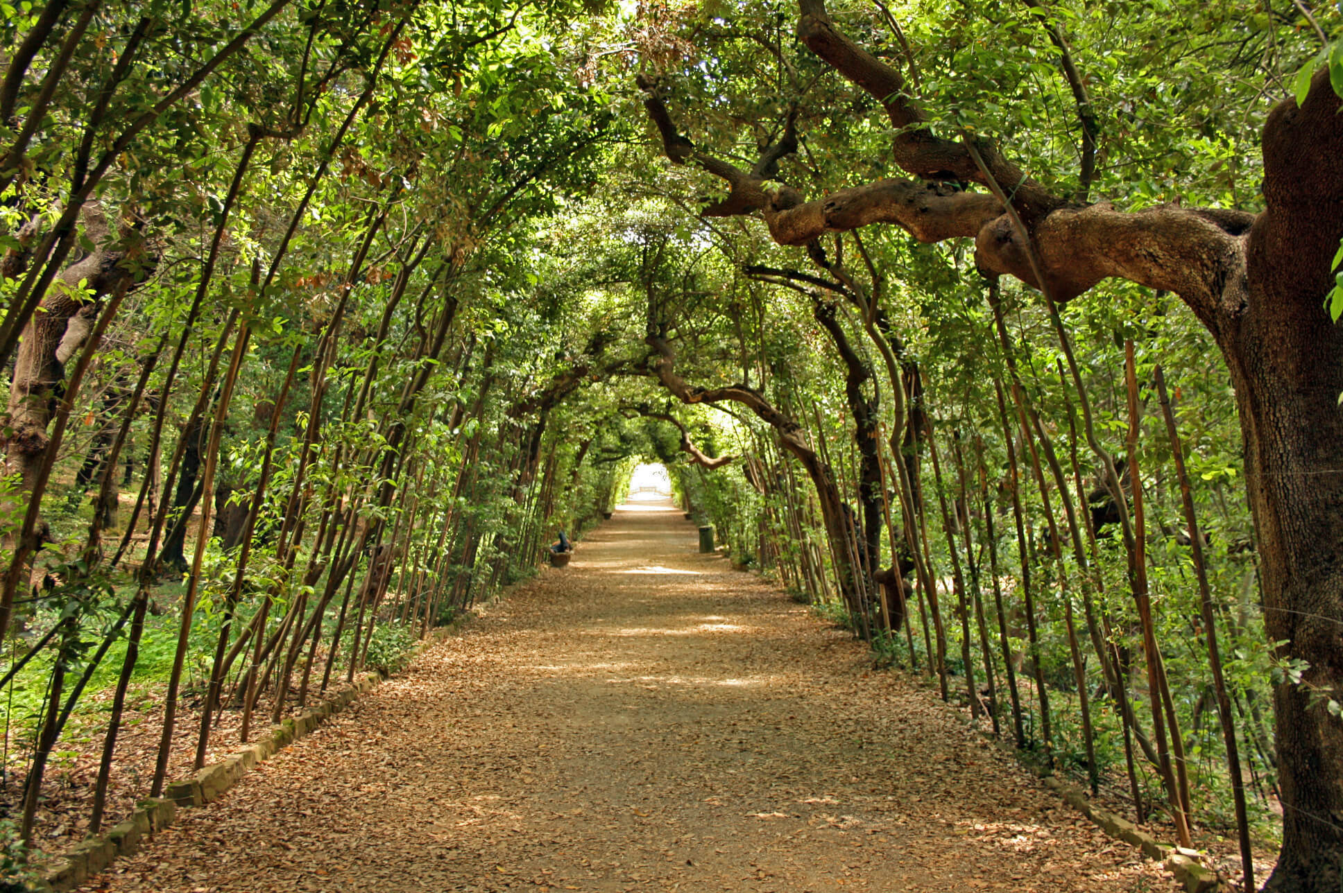 the trees form a sort of gallery inside the Giardini di Boboli, in Florence