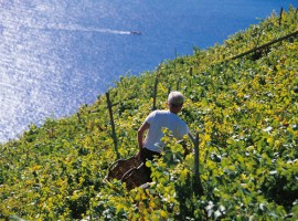 Sciacchetra vineyards, the tipical wine in Cinque Terre, Italy