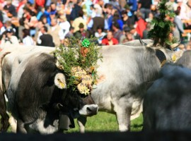 traditional festival in Val Passiria: return of the cattle
