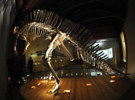 The dinosaur at the Museo storia Naturale in Venice