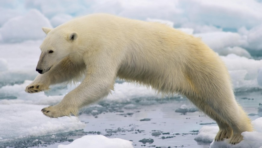 Polar bear has became one of the symbol of climate change. Will the Paris agreement save the Planet?