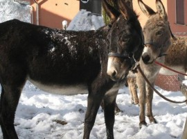 Donkeys, from pet-therapy to green holidays