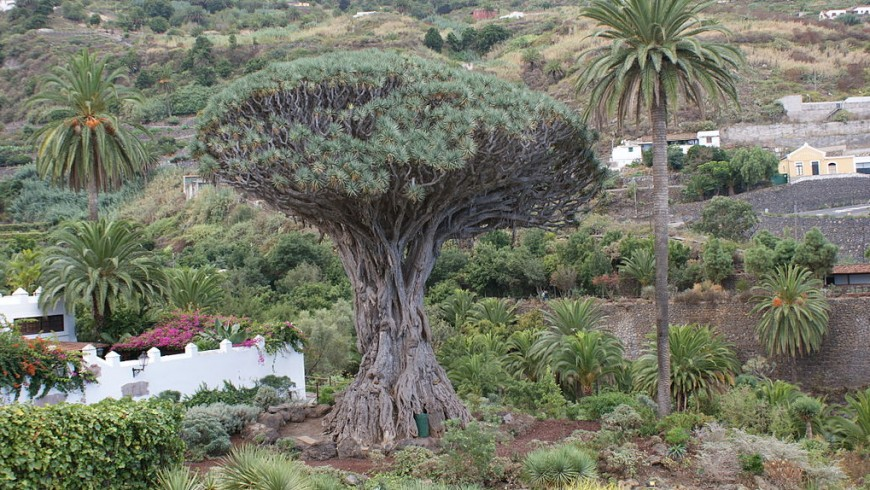 The Millenary Dragon Tree