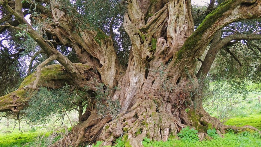 The oldest olive tree in Italy