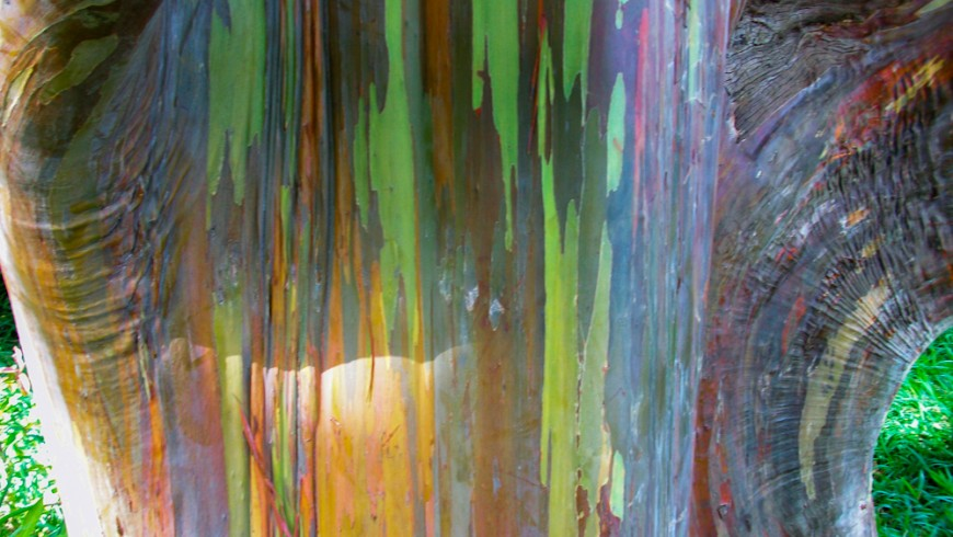 Rainbow Eucalyptus, a nature's work of art