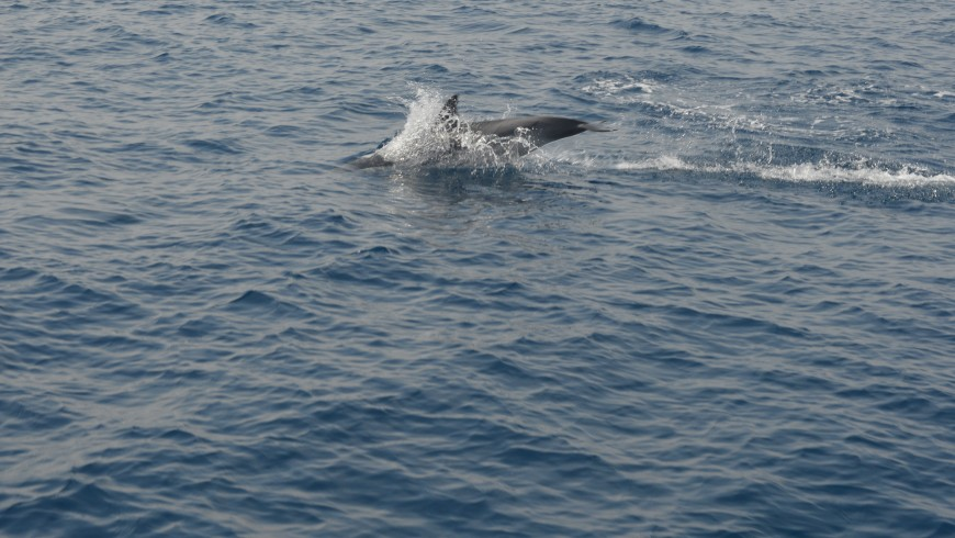 In the sea of Genoa following the dolphins