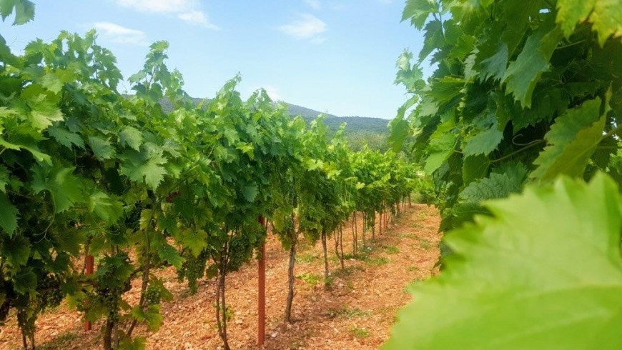 Vineyards in Dalmatia