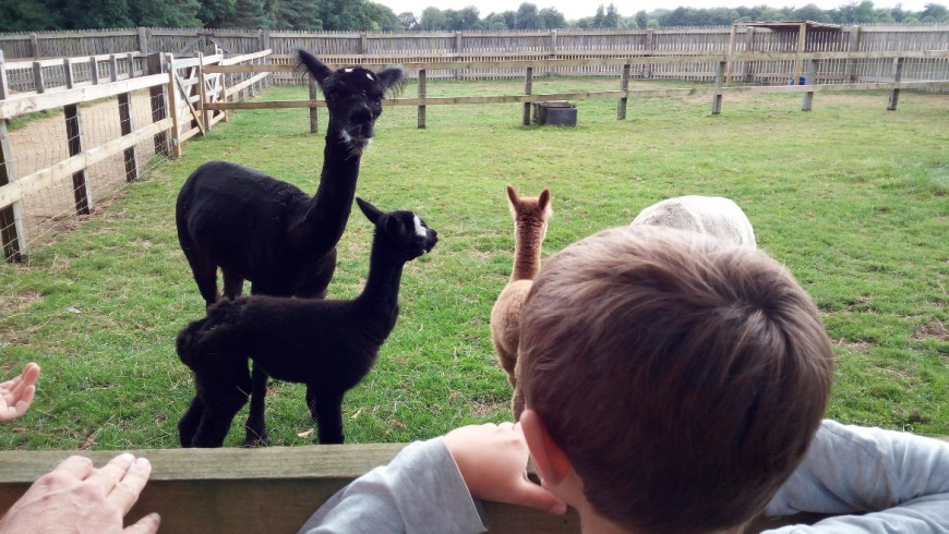 In contact with the animals: the alpaca in Bowood