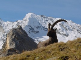 Ibex in the Gran Paradiso Park