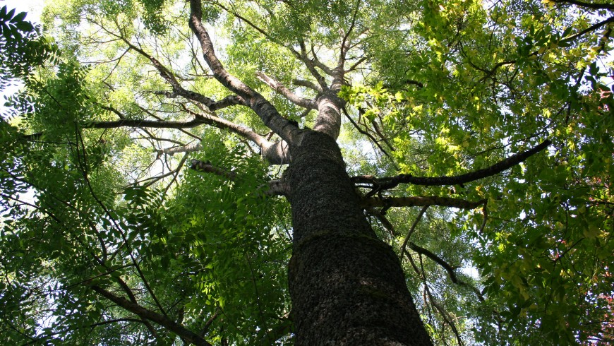 Fraxinus Excelsior down view, sky, leaves and light