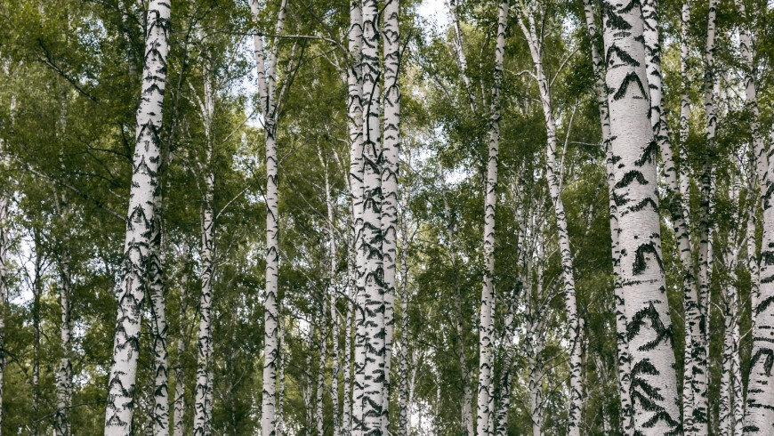 Several species of Betula pendula in the forest