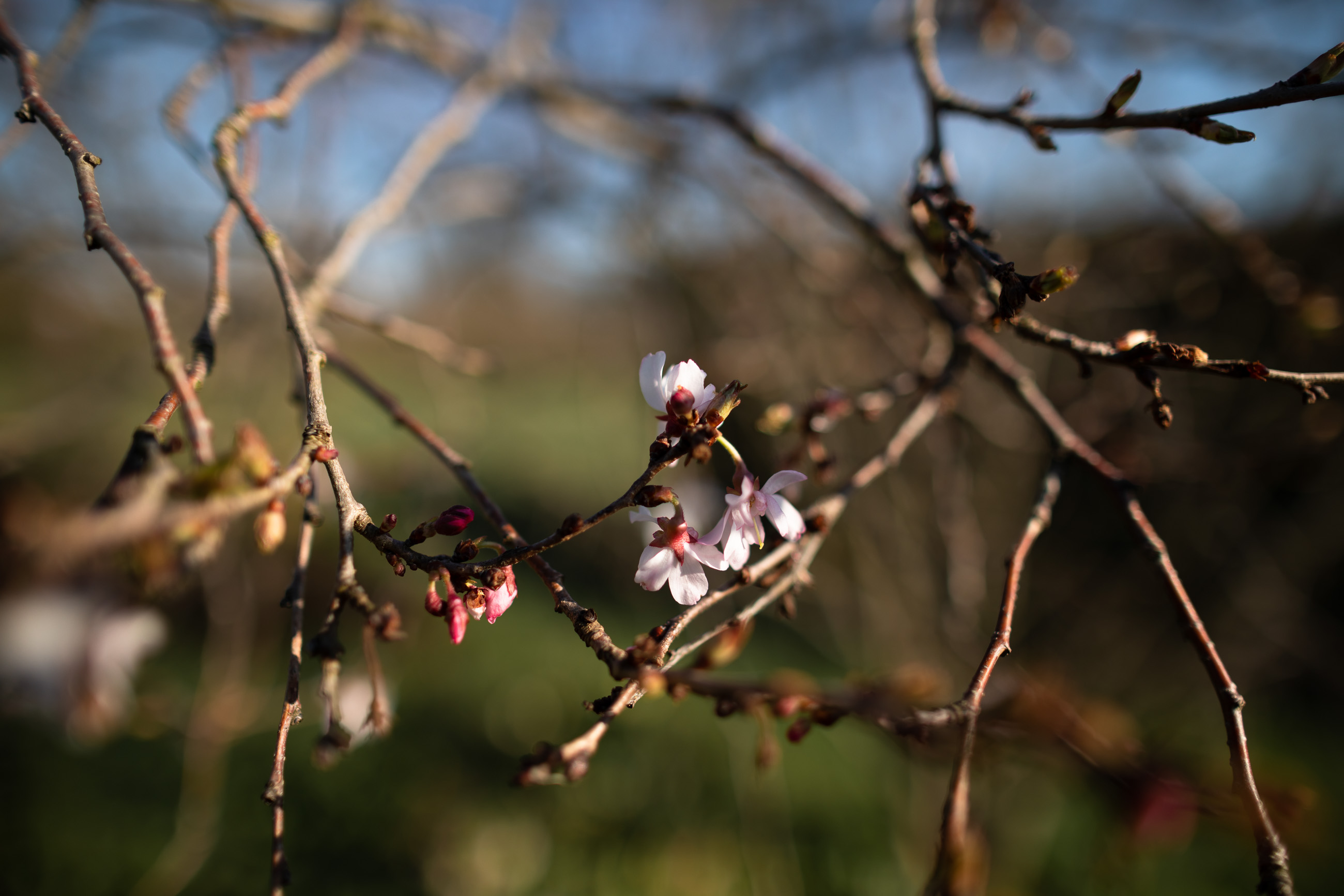 Peach branch, with flowers bloomings