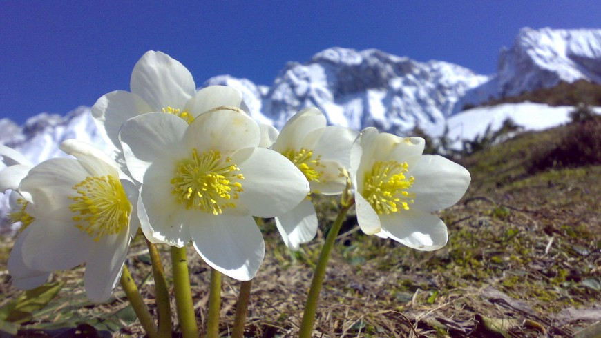 Hémmara has the Cimbrian name of a flower, the Hellebore. This little flower comes out in winter near Rotzo.