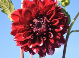 A red flower from the garden