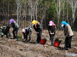 A team planting beech trees