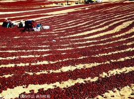 Tomatoes cultivation in Xinjang