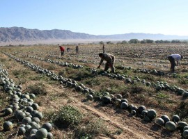 Watermelons cultivation