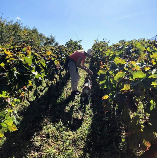 Vineyard eco villa Dalmatia - grape harvesting