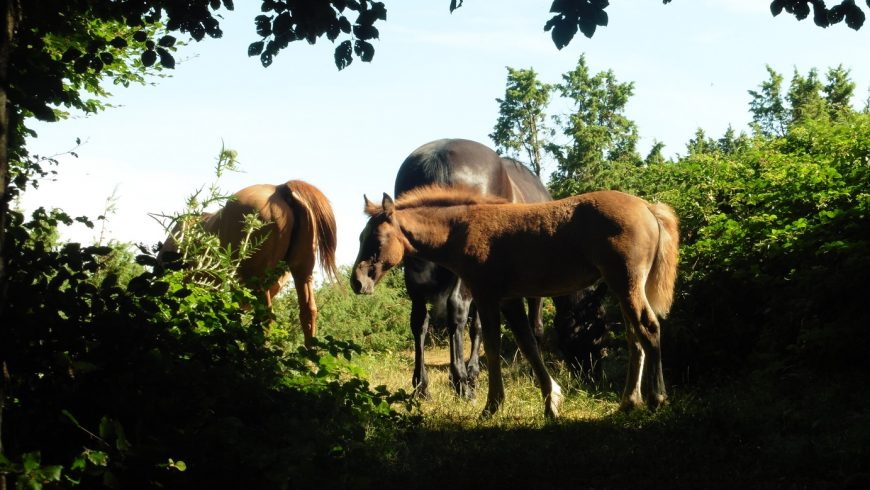 wild horses in the Tuscan-Emilian Apennines woods