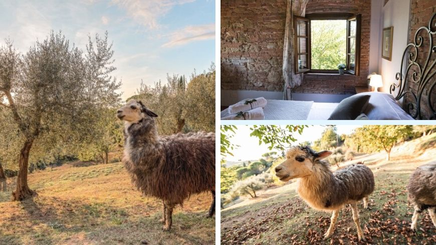 alpacas in farmhouse in italy